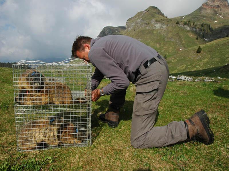 A77 - Monitoraggio popolazioni reintrodotte di marmotta - Anno 2010