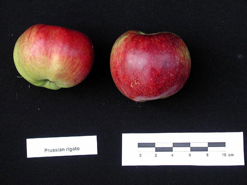 Pomme Prussiana