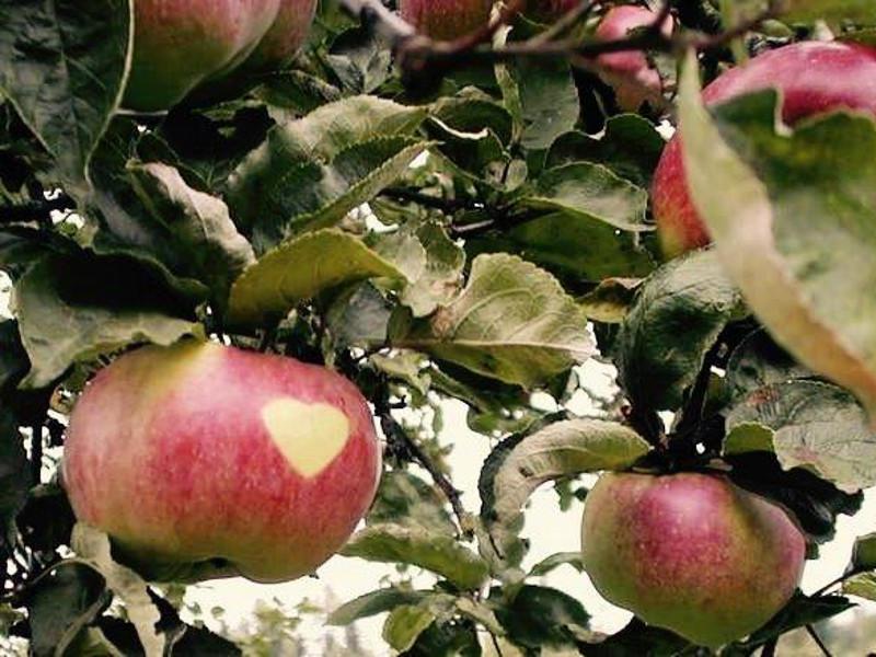 Pomme Prussiana biologique