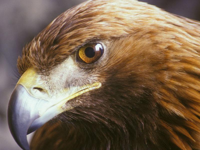 A44 - Situazione storica e conoscenze attuali sull'Aquila reale Aquila crysaetos nel Parco Nazionale Dolomiti Bellunesi