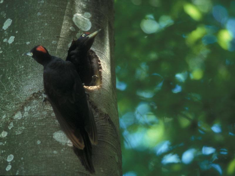 A17 - Caratteristiche forestali dei siti di nidificazione di Picchio nero nel Parco Nazionale Dolomiti Bellunesi