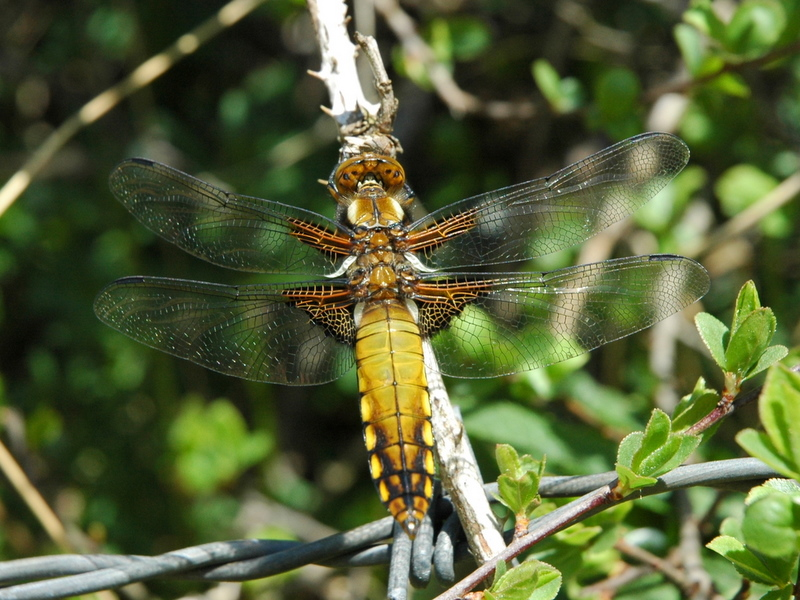 A79 - Biodiversità Alpina: Studio sulle libellule (Insecta, Odonata) del Parco Nazionale Dolomiti Bellunesi (2013-2014)