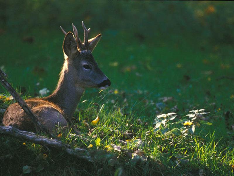A5 - Saggio faunistico sui mammiferi e rilievi demoecologici sul capriolo e sul cervo nella zona di Lentiai