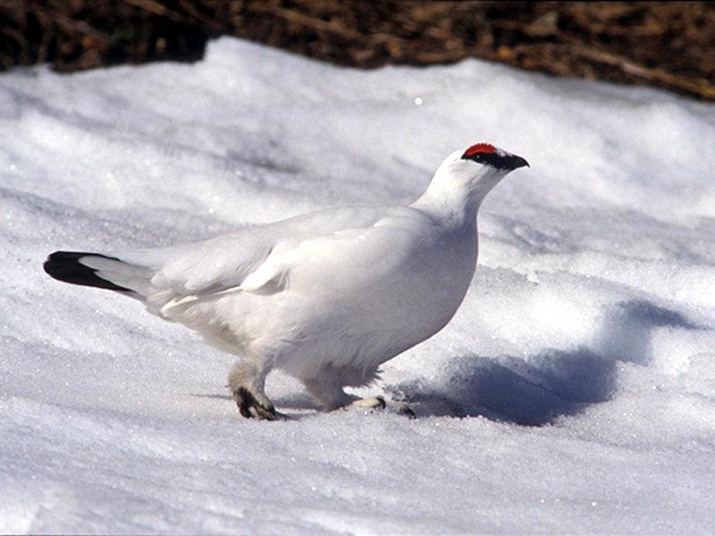 A21 - Genetica di conservazione di due specie alpine in declino: approccio non invasivo applicato allo studio di lepre bianca (Lepus timidus) e pernice bianca (Lagopus mutus)
