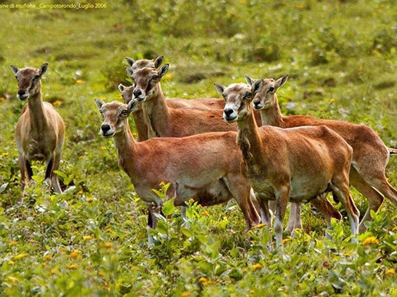 A51 - Monitoraggio delle popolazioni di cervo, capriolo, camoscio e muflone del Parco Nazionale Dolomiti Bellunesi. Relazione finale