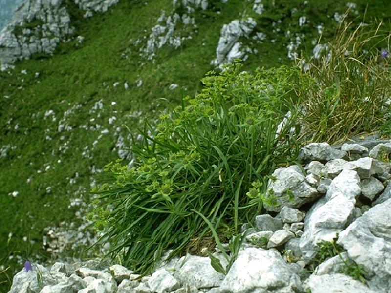 Felsen-Hasenohr