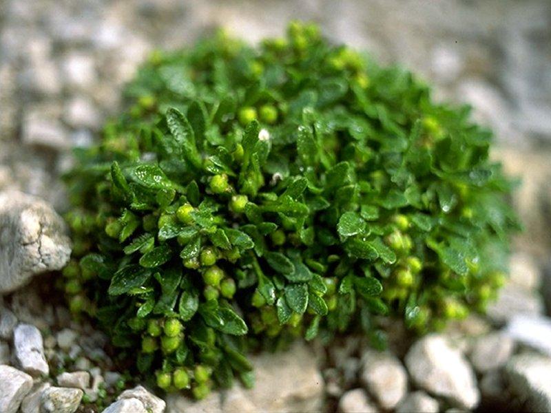 Coclearia alpina