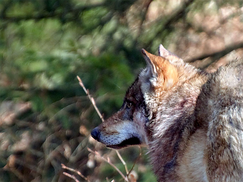 Il ritorno naturale del lupo, anche qui da noi!