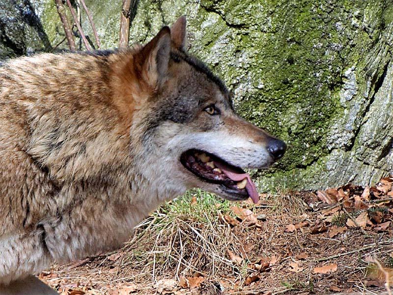 Convivere con il lupo si può