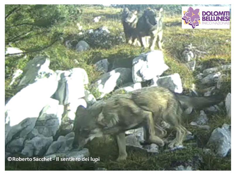 Prima riproduzione certa di lupo nel Parco Nazionale Dolomiti Bellunesi
