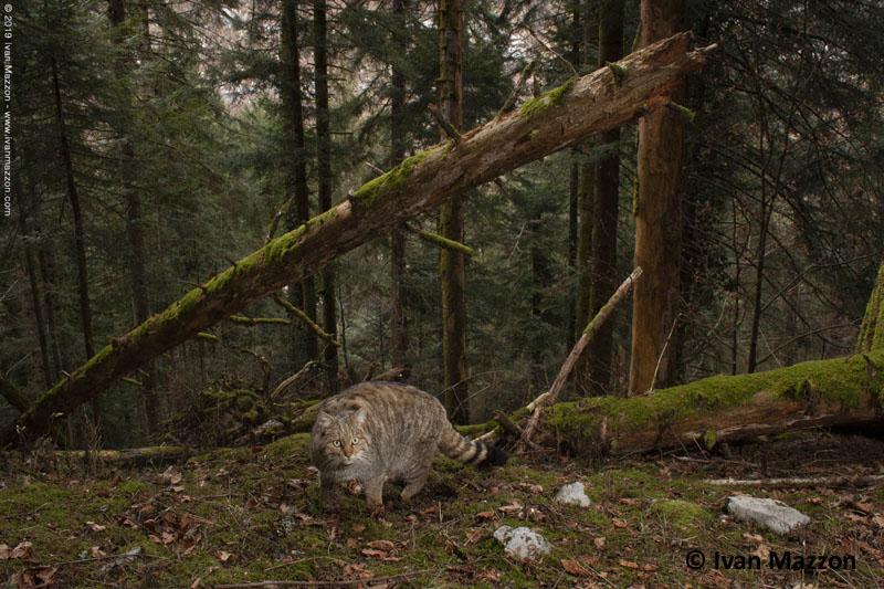 Gatti selvatici, martore e... lupi