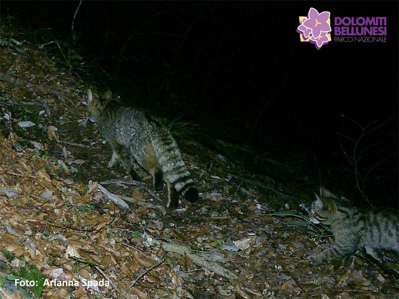 Prima riproduzione accertata di gatto selvatico nel Parco Nazionale Dolomiti Bellunesi