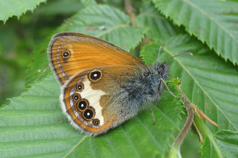 Riconoscere e monitorare le farfalle