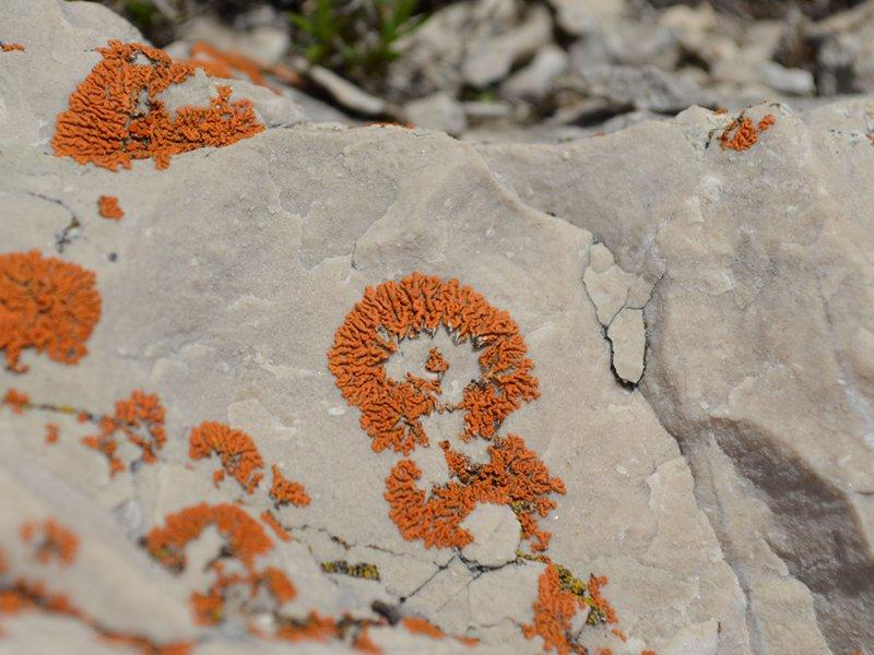 B11 - Licheni epifiti nella conca di Cajada